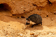 Desert Hedgehog or Ethiopian Hedgehog (Paraechinus aethiopicus) near it burrow. photographed in the desert in Israel. This hedgehog is an omnivore and has been known to eat a wide range of invertebrates, but prefers earthworms, slugs and snails. It will also eat frogs, small reptiles, young birds and mice, carrion, bird eggs, acorns and berries. it is mainly a nocturnal animal