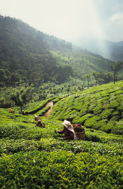 A mid adult woman picks tea leaves (camellia sinensis) at a tea plantation near Ooty, Tamil Nadu, India.