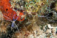 Pedersen Cleaner Shrimp Pair...Shot in British Virgin Islands