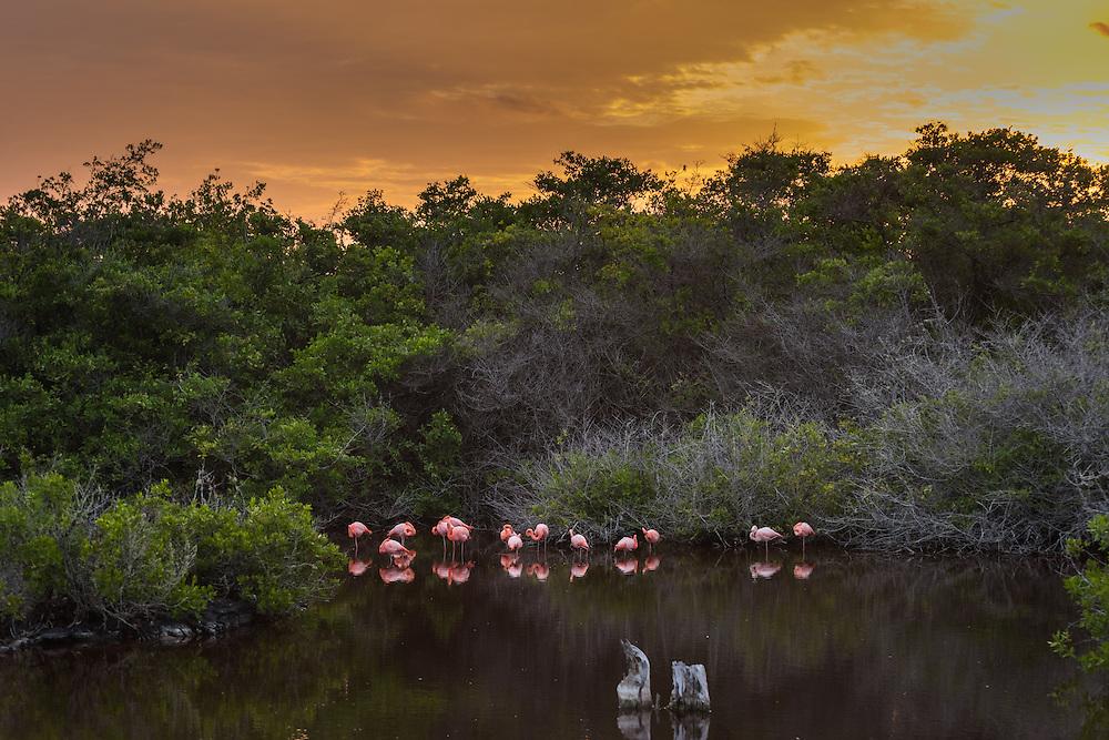 Flamingo's at sunset, Isla Isabela, Galapagos, Ecuador.