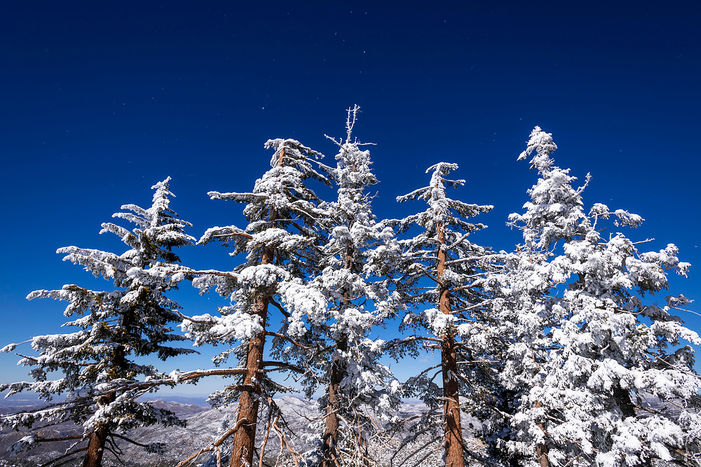 Snow flurries and rime ice on pines in the San Bernardino Mountains, San Bernardino National Forest, California USA