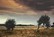 Olive trees, Sicily