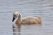 Black Swan, Travis Wetland, New Zealand