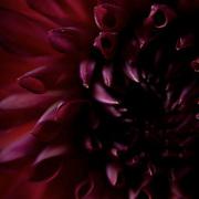Extreme closeup of dark red Dahlia flower, studio-lit