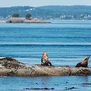 Steller sea lions in the San Juan Islands, Washington. Photo by William Drumm, 2013.