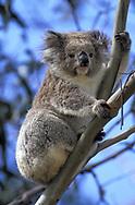 Oceania, Australia, Australian, Victoria, Phascolarctos cinereus, Koala in the wild