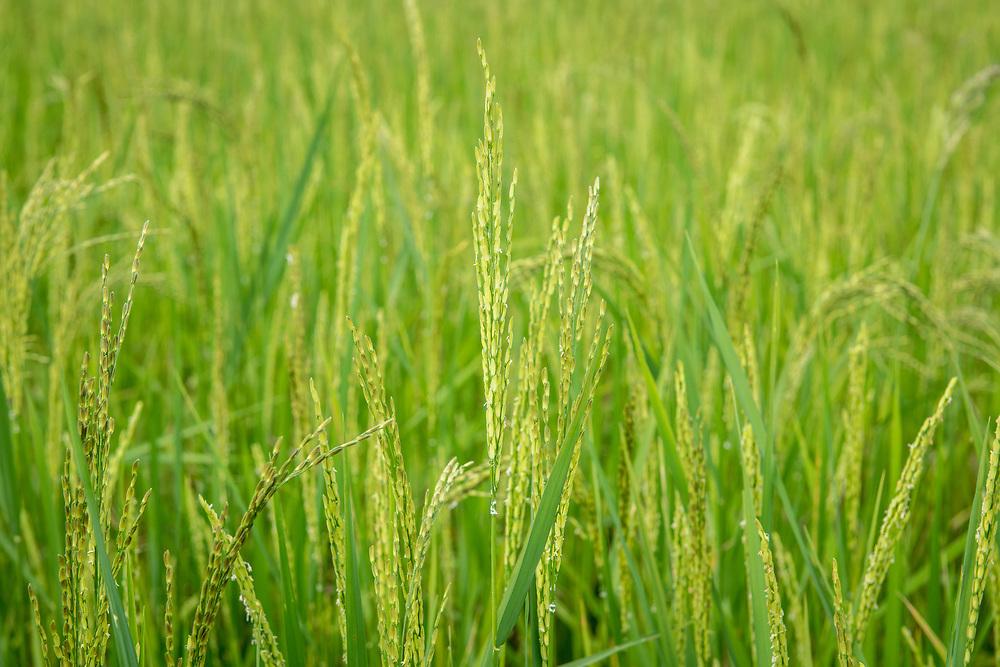 Close up on ear of African rice (Oryza glaberrima), Gbedin village, Nimba County , Liberia