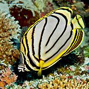 Myer's Butterflyfish iinhabit reefs. Picture taken Palau.