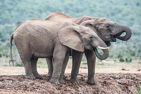 African Elephant Drinking, Addo Elephant National Park, Eastern Cape, South Africa