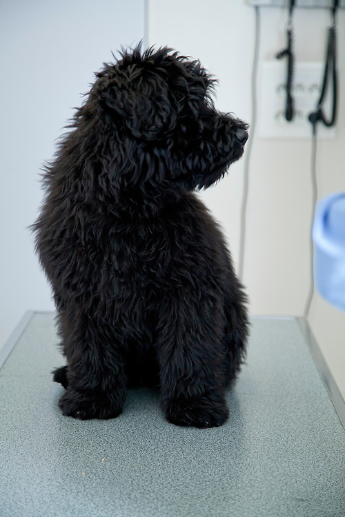 Bouvier des Flandres puppy on clinic table. France