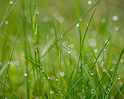 Macro view of morning dew on heads of grass in a Welsh meadow
