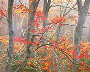 Maple trees in fog near Eagle Lake, Acadia National Park, Maine 1990