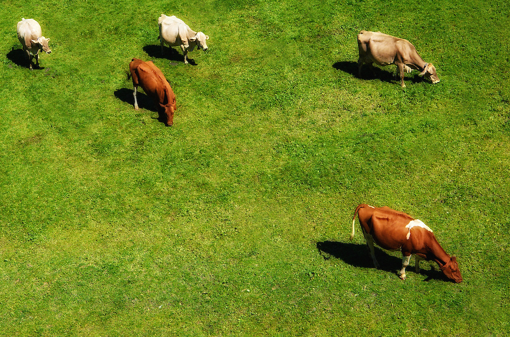 Switzerland - Cows under Titlis