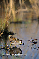00865-00113 Sora (Porzana carolina) in wetland Prairie Ridge State Natural Area, Marion Co.   IL
