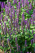Korean Mint, Agastache rugosa in organic vegetable and herb garden  in Oxfordshire, UK