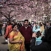 Fotografering under körsbärsträden i Kungsträdgården