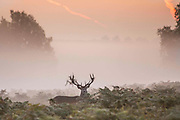 UNITED KINGDOM, London: 02 October 2015 A Fallow deer roams the misty grounds of Richmond Park during an Autumnal sunrise this morning. Rick Findler / Story Picture Agency