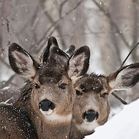 rutting mule deer in deep snow cold weather winter