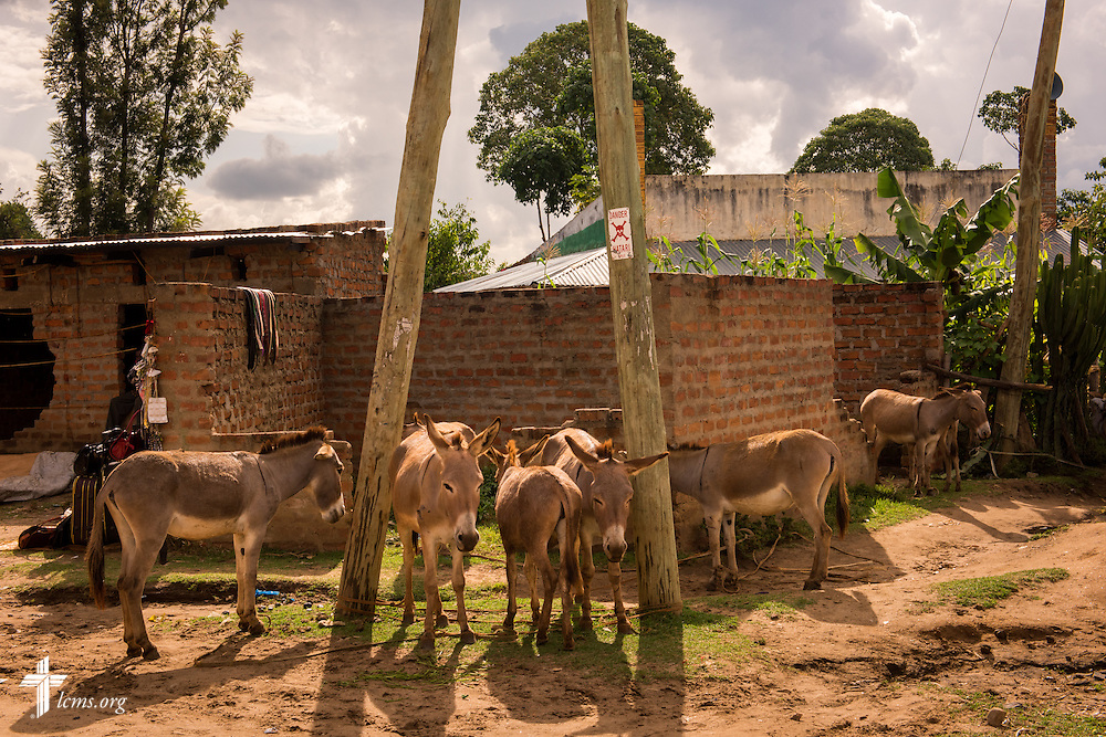 Donkeys for sale at a marketplace in Chepareria, Kenya, near the U-Dom ELCK (Evangelical Lutheran Church in Kenya) Project 24 site on Thursday, June 23, 2016. LCMS Communications/Erik M. Lunsford