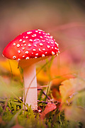 A beautiful fly fungus in autumn on the forest floor