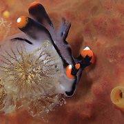 Cute orange and white Thecacera picta nudibranch curled up around a bryozoan growing on an orange sponge