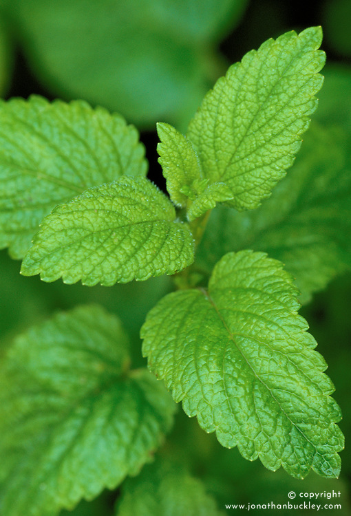 Melissa officinalis - Lemon balm, Bee balm