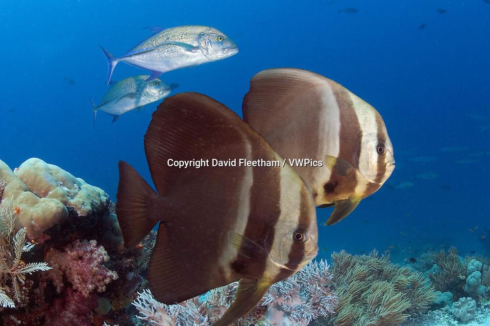 A pair of circular batfish, Platax orbicularis, and blue jacks,  Indonesia.