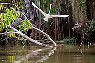 A Great Egret blurs to the sky from it's perch by the Rio Sambu, Darien Province, Panama.