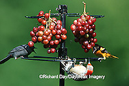 00585-025.04 Gray Catbird, Red-bellied Woodpecker female & Baltimore Oriole female eating grapes at feeder Marion Co. IL