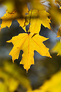 Maple leaf in autumn colours, backlit by sunlight.