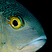 Face of Midnight Snapper, Macoor macularis, at Maratua Island, Kalimantan, Indonesia.