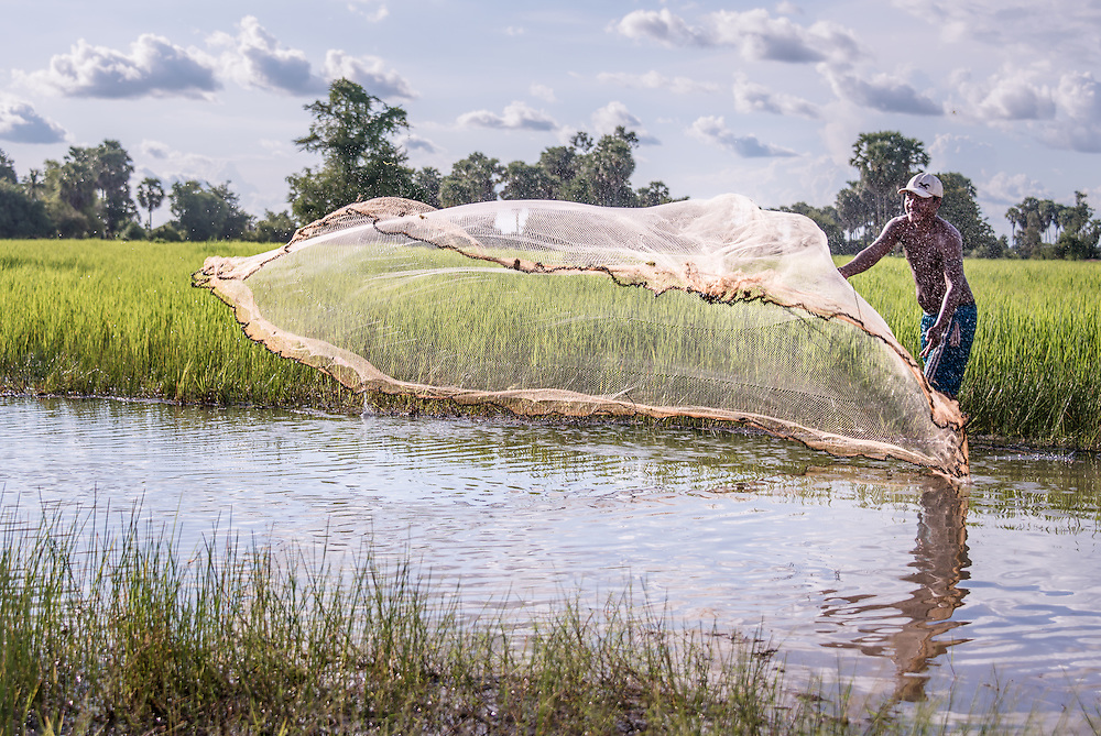 A Cambodian fisherman casts his net beside the rice paddies. He is catching small tilapia for the family dinner.