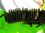 caterpillars, selvatura, costa rica