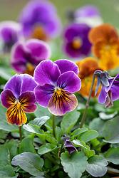 Viola cornuta 'Antique Shades Mix'