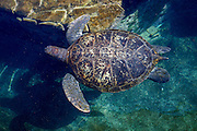 Green sea turtle (Chelonia mydas) swimming. Green sea turtles are found in warm tropical waters. They are herbivorous, eating algae and sea grasses, and can grow up to 1.5 metres in length. During the breeding season, these turtles will migrate thousands of miles to return to their hatching site. Photographed in the Red Sea, Eilat, Israel