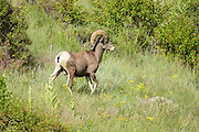 A Bighorn sheep ram walks along a mountain slope in the Rocky Mountain National Park in Estes Park, Colorado.