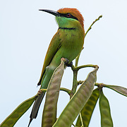 The green bee-eater (Merops orientalis) (sometimes little green bee-eater) is a near passerine bird in the bee-eater family.