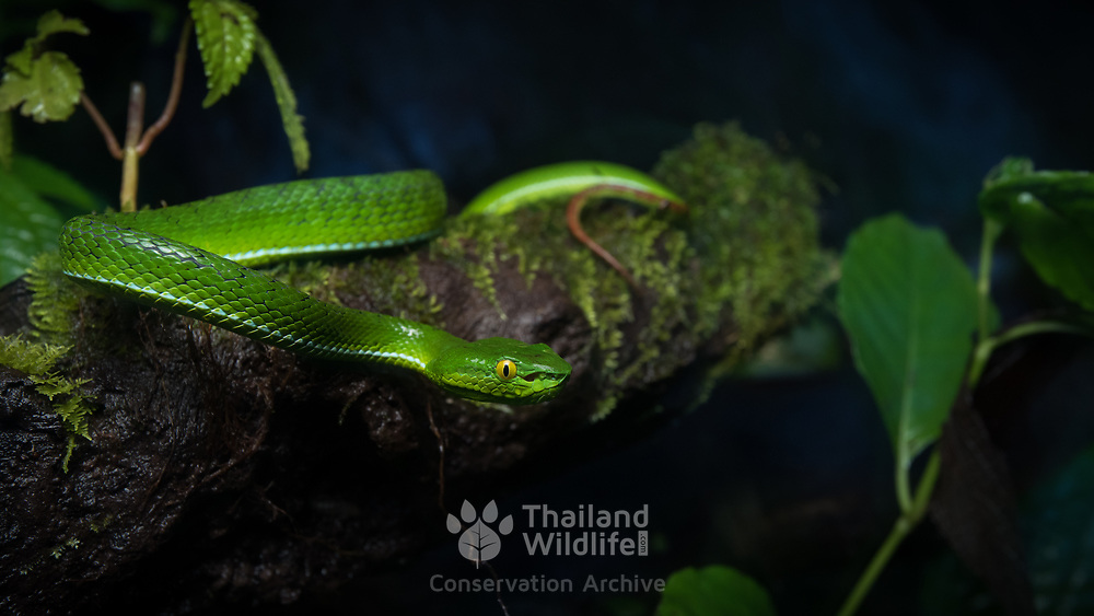 gumprecht's Pit Viper (Trimeresurus gumprechti) female in Nan, Thailand