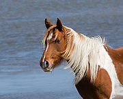 A Chincoteague Pony in the Chincoteague National Wildlife Refuge