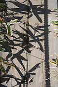 leaves and shadows of Kumazasa plants Japan