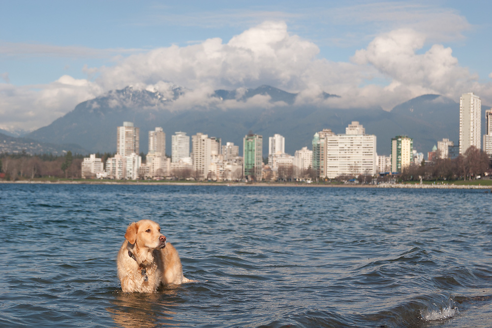 Dogs play in the Pacific Ocean with A sunny view looking over the Burrard Inlet in Kitsilano, Vancouver. A popular area for dog walkers and joggers eager for excercise. The city of vancouver is in the background followed by a backdrop of mountains.