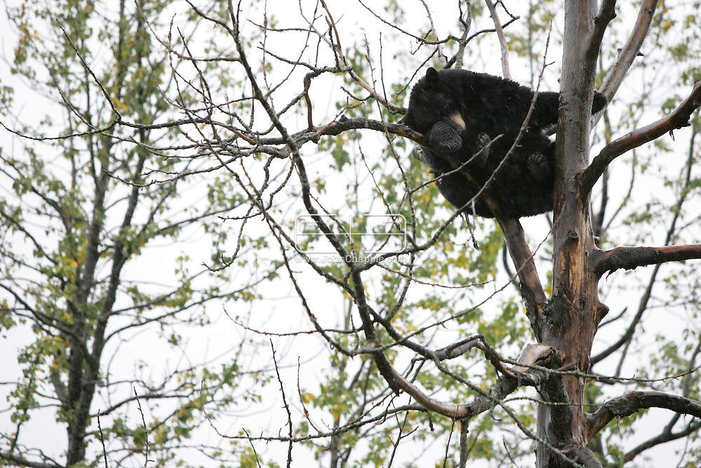 13th September 2008, Anchorage, Alaska.  A bear rests up a tree. PHOTO © JOHN CHAPPLE / REBEL IMAGES.tel: +1-310-570-910