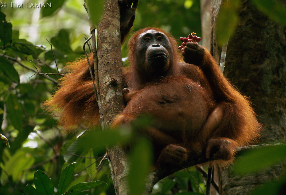 A pregnant Bornean Orangutan (Pongo pygmaeus) named Beth feeds on Polyalthia fruit in a tree.