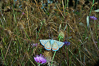 Common Blue butterfly in flight Polyommatus icarus, Provence, France<br /> <br /> Insects in flight, high speed photographic technique, flying, wings, motion, insect Common Blue in flight (Polyommatus icarus), Provence, France. This is a small butterfly in the family Lycaenidae. Image by Andres Morya