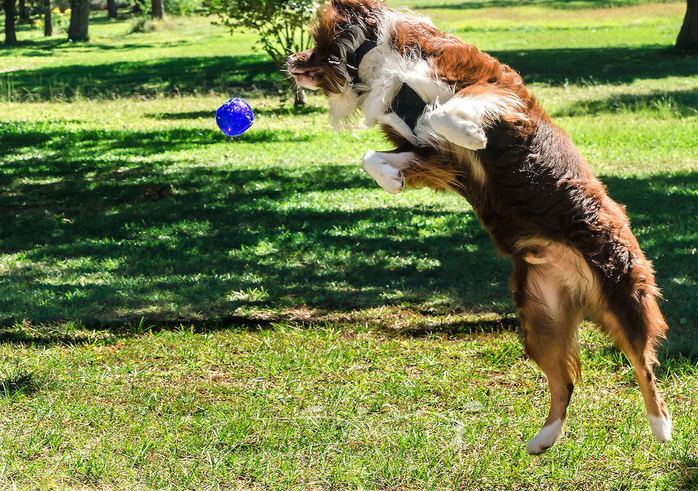 Cowboy, a six-year-old, red tri Australian Shepherd, leaps in the air to catch a Kong Squeezz ball, Oct. 14, 2014, in Coden, Alabama. (Photo by Carmen K. Sisson/Cloudybright)