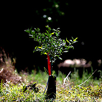 LAKE WALES, FL -- October 13, 2010 -- A 3-month-old replacement plant grows next to a decapitated stump in the field of citrus grower Marty McKenna in Lake Wales, Fla., on Wednesday, October 13, 2010.  The housing bust left orange groves - which were scooped up by investors - unattended, overgrown and full with disease.  That disease is spreading to healthy, adjacent fields - leaving citrus growers scrambling to replant lost production. ..ORANGES