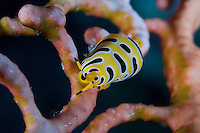 Gorgonian Tiger Cowrie