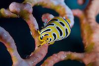 Gorgonian Tiger Cowrie