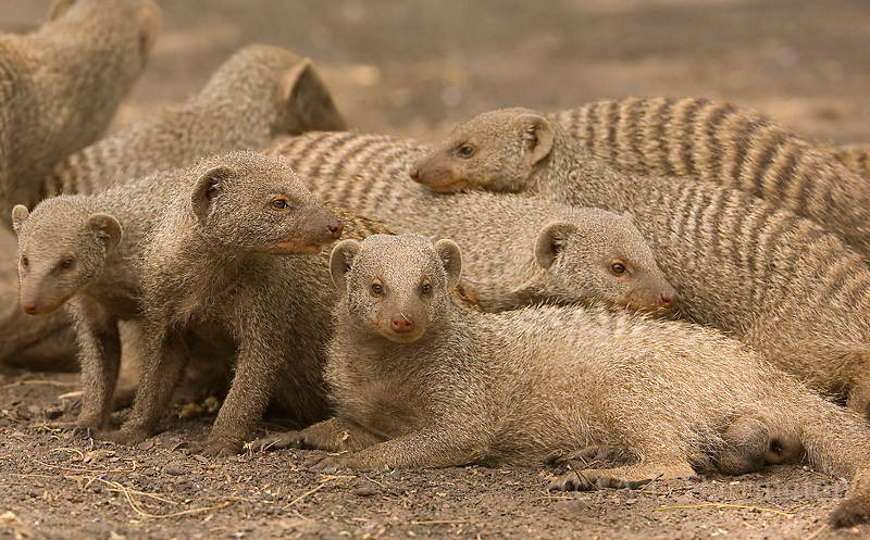 Mongeese creating