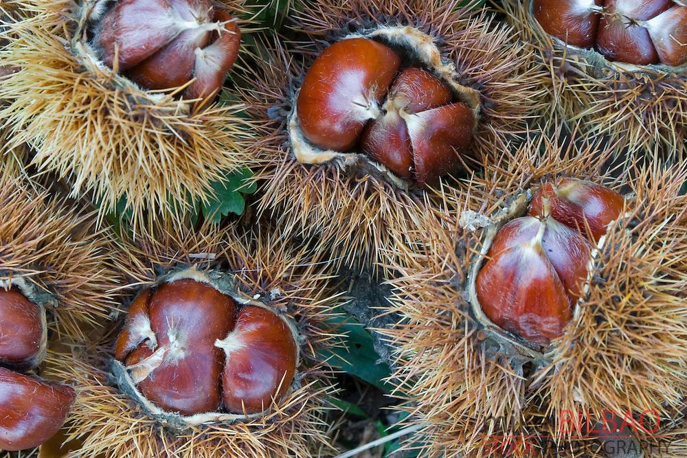 chestnut fruits (Castanea sativa).<br /> Ason river, Cantabria, Spain, Europe.